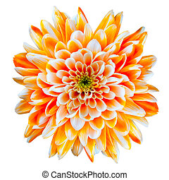 Orange and White Chrysanthemum Flower Isolated on White -...