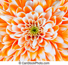 Orange and White Chrysanthemum Flower Head Closeup - Orange...