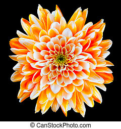 Orange and White Chrysanthemum Flower Isolated on Black -...