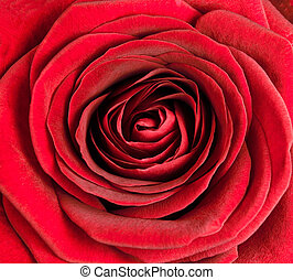 Closeup on Center of Beautiful Red Rose Perfect Macro on...
