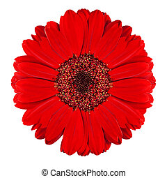 Perfect Red Gerbera Flower Isolated on White - Perfect Red...