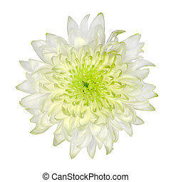 Lime Green White Chrysanthemum Isolated on White