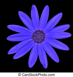 Blue Osteospermum Flower Head Daisy Isolated on Black...