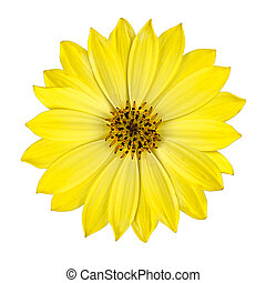 Fresh Yellow Osteospermum Flower Isolated - Fresh Yellow...