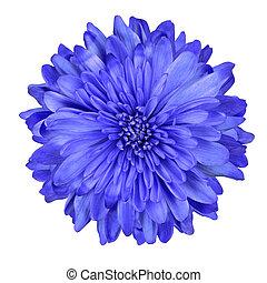 Deep Blue Chrysanthemum Flower Isolated