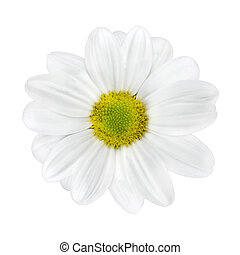 White Dahlia Flower with Lime Green Center Isolated