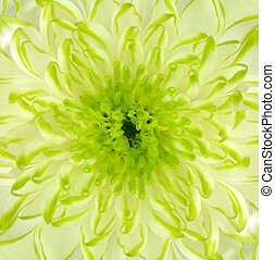 Lime Green Chrysanthemum Flower Square Backround - Detail of...