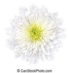 White Chrysanthemum Flower with Yellow Center Isolated -...