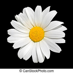 Osteospermum - White Daisy Isolated on Black Background -...