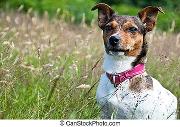 Jack Russel Terrier sitting in High Grass and Staring