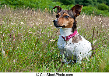 Jack Russel Terrier sitting in High Grass - Jack Russel...