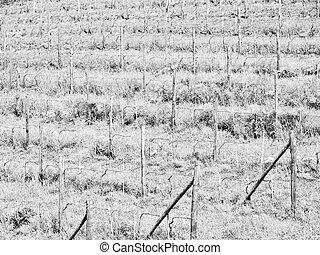Grapevine vitis - Grapevine (plantae magnoliophyta...
