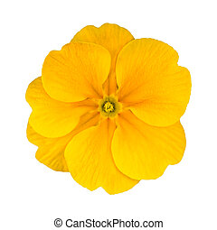 Fresh Yellow Primrose Flower Isolated - Single Yellow...