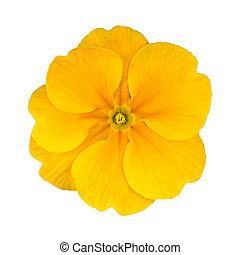 frais, jaune, primevère, fleur, isolé