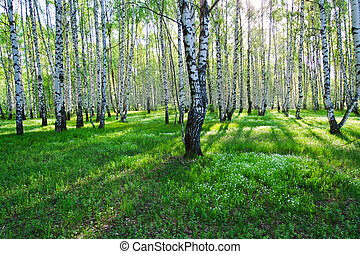 Birch trees in summer - Birch trees with long shadows in...