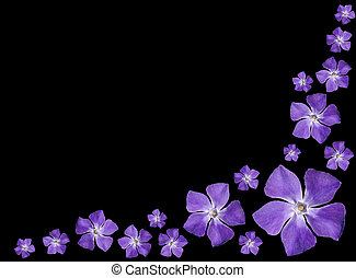 Periwinkle purple flowers - Vinca minor - isolated on Black...