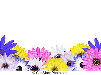 Row of Multi Colored Various Osteosperum Daisy Flowers