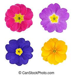 quatre, coloré, primevères, fleurs,...