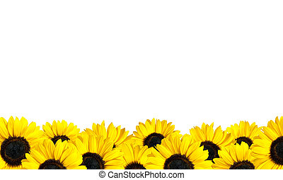 Row of Perfect Fresh Sunflowers Isolated on White....