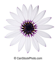 Osteospermum Asti White Daisy with purple center on White -...