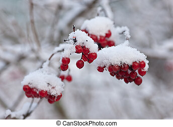 Branches of a arrowwood with berries under snow
