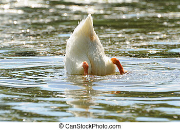 duck tail - duck with a head under water
