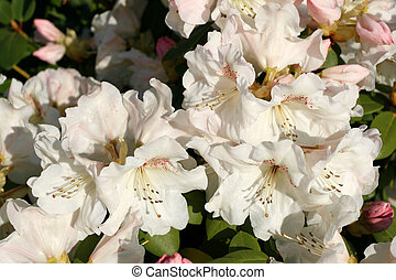 Azalea flowers (Rhododendron) - garden nature close up