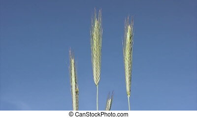 Close-up of wheat on sky background