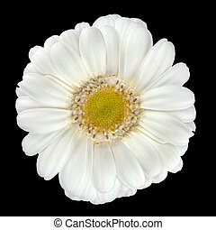 Perfect White Gerbera Flower Isolated on Black
