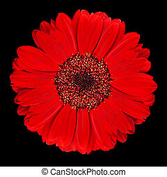 Perfect Red Gerbera Flower Isolated on Black