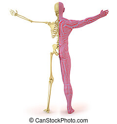 body - anatomical structure of the body man bones and...