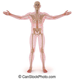 body - translucent human body with visible bones. isolated...
