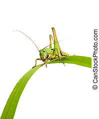 grasshopper sits on the green grass on white background