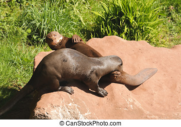Giant Otter - Close up of a Giant Otter Pteronura...