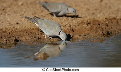 Cape turtle dove Streptopelia capicola drinking water,...