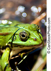 green frog - close up of a little green frog