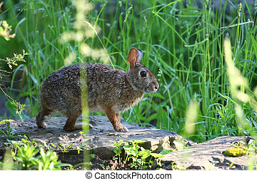 Cottontail Rabbit Sylvilagus early morning in garden