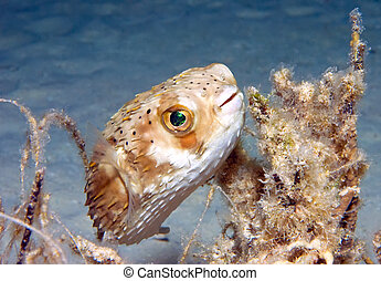 Balloon fish - A juvenile balloon fish lurks by some...