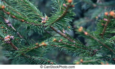 Spruce twig - Spruce needles and buds closeup