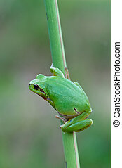 European tree frog - macro of a European tree frog in the...
