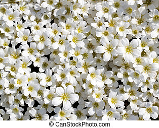 White flowers background - Small white flowers background