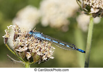 common blue damselfly - a common blue damselfly enallagma...