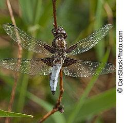 dragonfly-macro