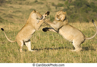 Lions fighting - A large male and female lion mock fighting...