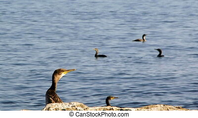 Observation duck - A flock of ducks swimming on the water A...