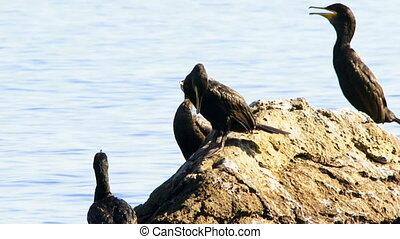 Society ducks - A flock of ducks sitting on a rock. A flock...