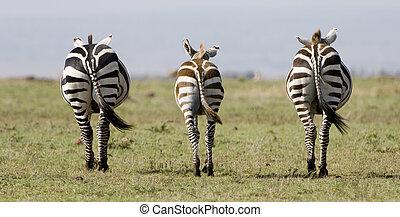 Symetrical Zebra in Kenya - 3 zebra in perfect symetry in...