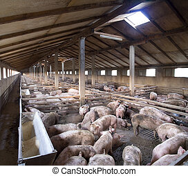grande, cerdo, granja