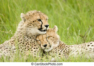 cheetah cubs huddled up together one sleeping while the...