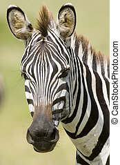 Zebra portrait - A close up of a zebra in Kenyas Masai Mara